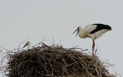 Белый аист (Ciconia ciconia) Автор: Фотоконкурс ЛЕТО-ОСЕНЬ