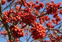 РябинушкаСнимок был представлен на фотоконкурс «Лето-Осень»