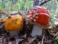 Мухомор красный (Amanita muscaria)Мухомор красный жёлтого цвета. Это что за гриб? Красный мухомор! А почему он жёлтый? Потому что зелёный! (с)