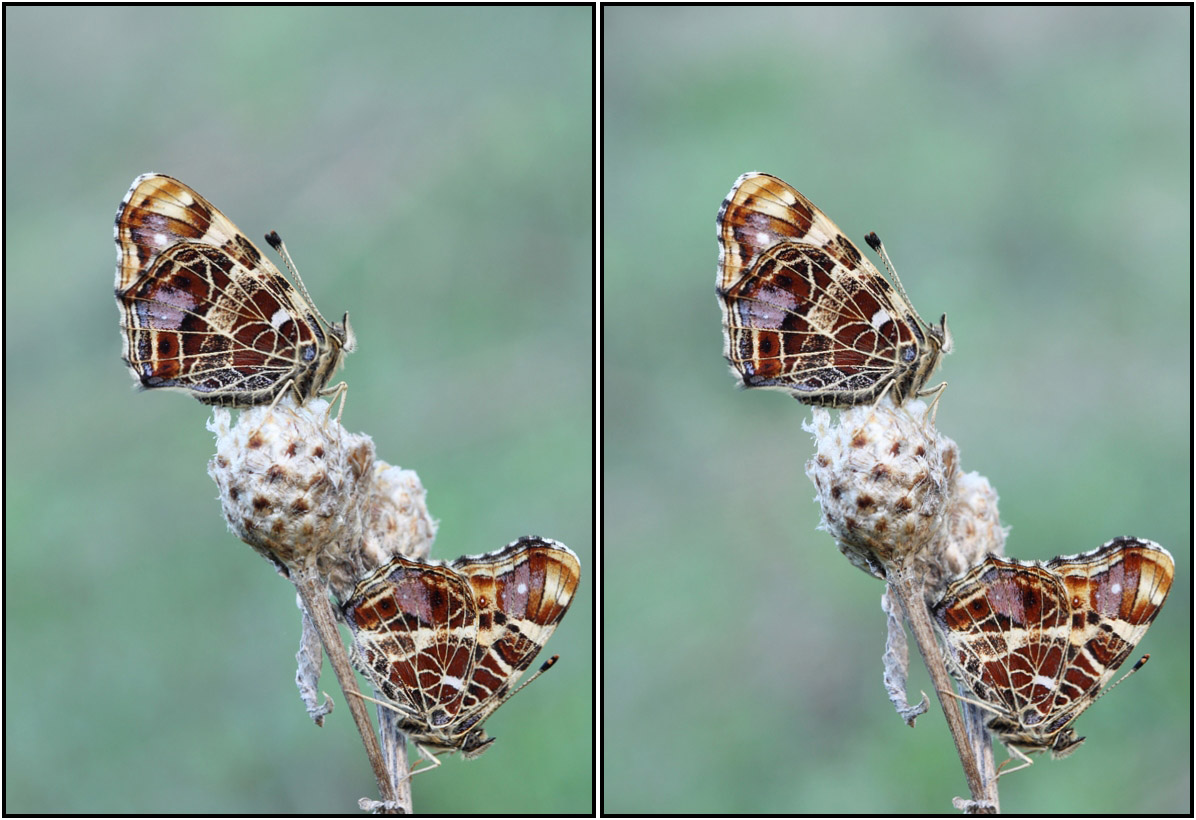 Бабочки. Автор фото: Сергей Таланов (г.Вятка)