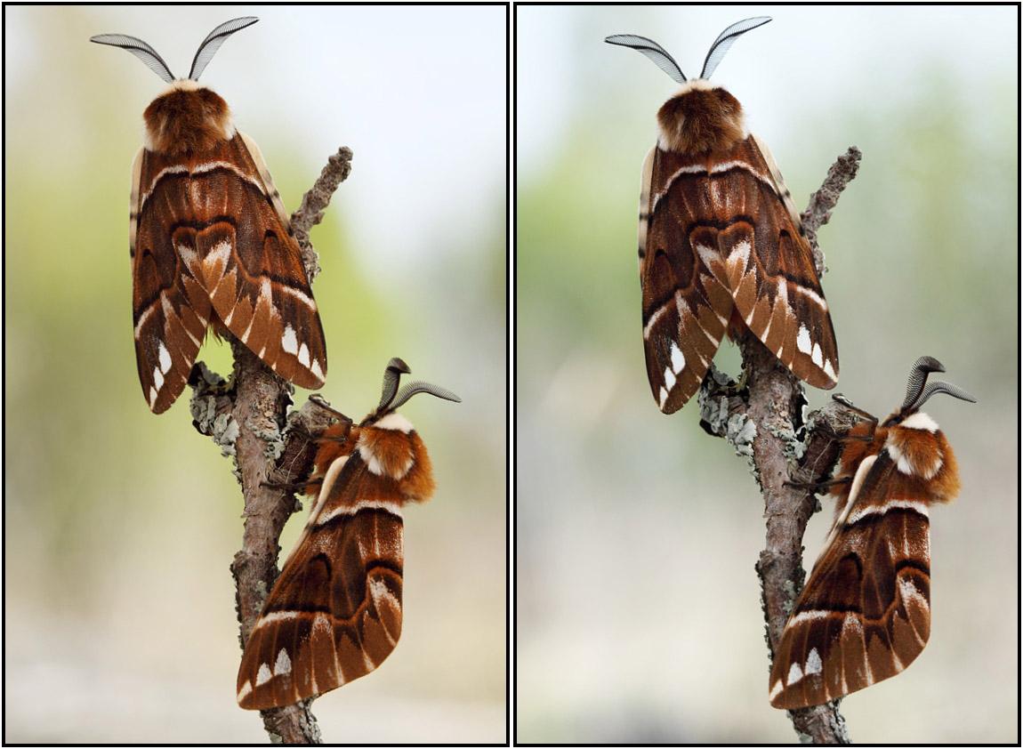 Шелкопряд березовый. Автор фото: Сергей Таланов (г.Вятка)