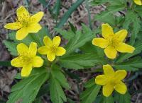 c:желтые,c:золотисто-желтые,лепестков 5,s:травянистые,d:в широколиственных лесах,i:многолетние,l:рассеченные,f:листовка