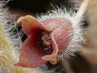 s:травянистые,b:ползучий,c:фиолетовые или лиловые,c:1-2 см,околоцветник актиноморфный,околоцветник сростнолепестный,лепестков 3,i:декоративные,i:лекарственные,i:ядовитые,i:культивируемые,i:редкие и охраняемые