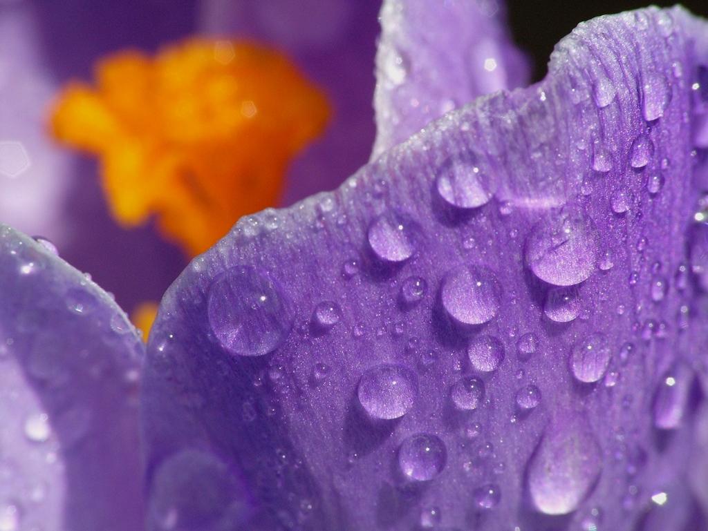 Крокус в росе.... Автор фото: Пользователь:_VESNA, пароль: konkurs