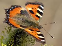Бабочки летают, бабочки...