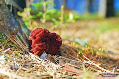 Строчок обыкновенный (Gyromitra esculenta). Автор фото: Черемисов Андрей, фотоконкурс ВЕСНА
