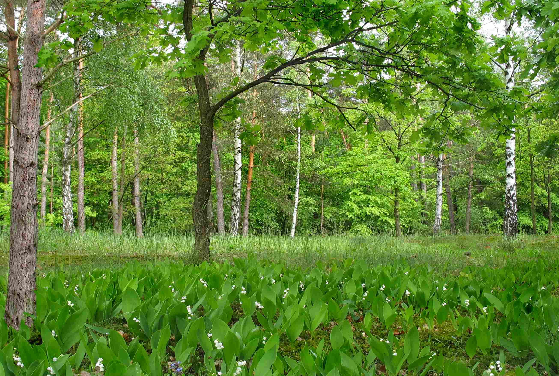 Майский лес. Автор фото: Афанасьев Валерий (Германия)