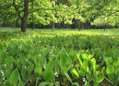 Ландыши в лесу. Автор фото: Пользователь:_VESNA, пароль: konkurs