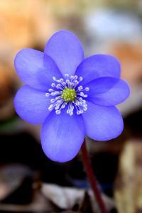Печёночница благородная (Hepatica nobilis) Автор: Фотоконкурс ВЕСНА
