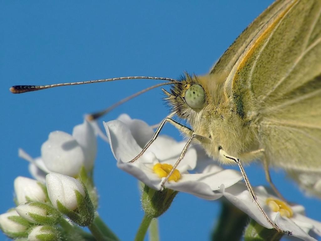 Весна, незабудки, небо, бабочка.... Автор фото: Пользователь:_VESNA, пароль: konkurs