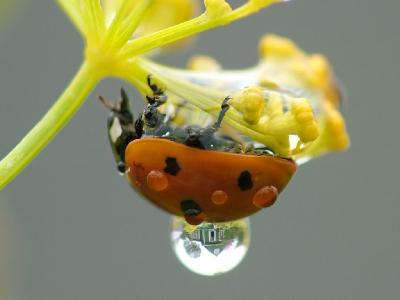 Коровка семиточечная (Coccinella septempunctata) Автор: Фотоконкурс ВЕСНА