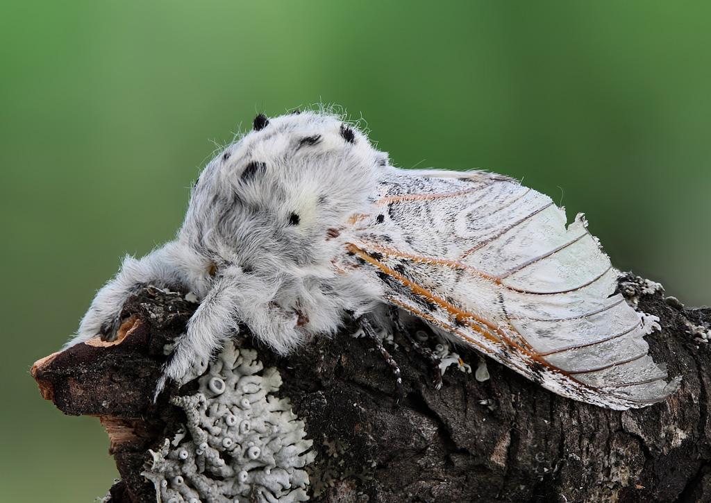 Бабочка Гарпия. Автор фото: Таланов Сергей (г.Вятка)
