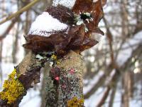 Разноцветная ветка зимой