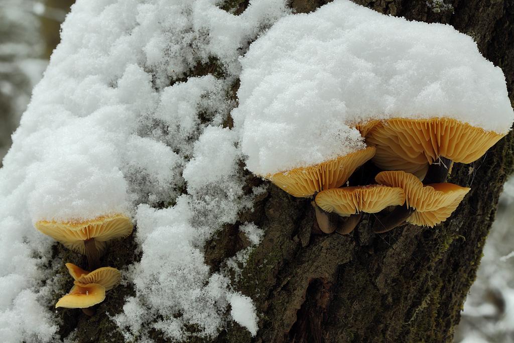 Снежные грибы. Автор Таланов Сергей, г.Вятка