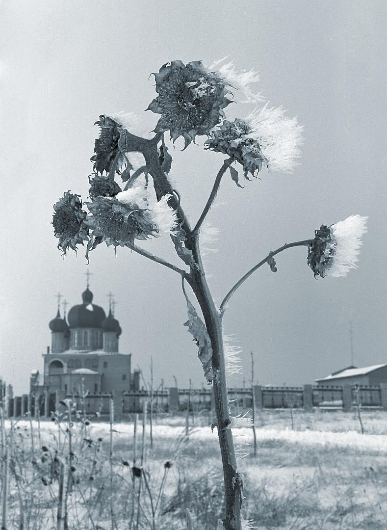 Зимний танец с подсолнухами. Автор фото: Мокороус Владимир, Украина