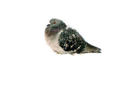 Старые тэги: птицы,2012,январь Автор фото - Ширяев Константин (г. Калуга) Автор фото: Конкурс Зима