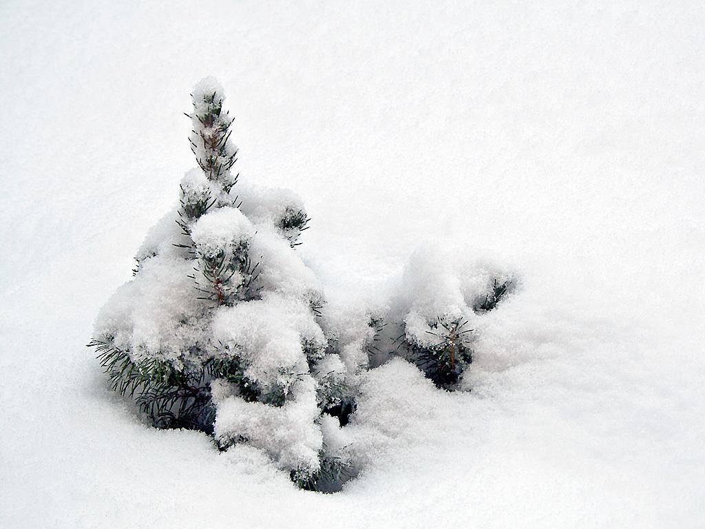 Маленькой елочке холодно зимой. Автор фото: Лукашин Сергей, г.Раменкское Московской обл.