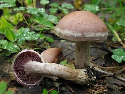 Синоним: Паутинник лесной Определение выполнил Сергей Ерлин Автор фото: Салават Арсланов
