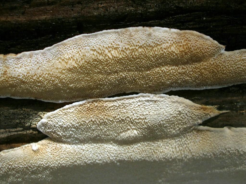 Антродия толстая (Antrodia crassa); Фото Владимира Капитонова