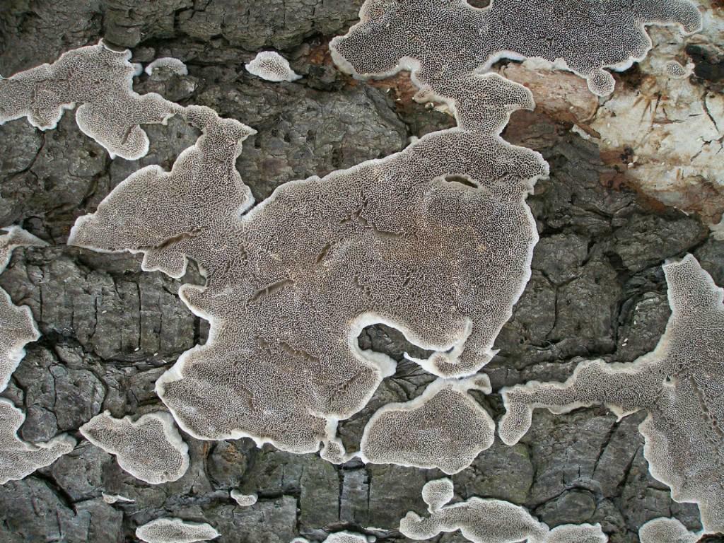 Цинереомицес Линдблада (Cinereomyces lindbladii); Фото Владимира Капитонова