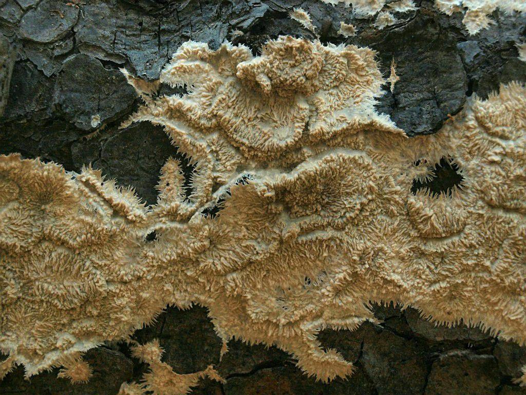 Флебия медовая (Phlebia mellea); Фото Владимира Капитонова