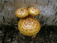 s:пластинчатые,i:деревообитающие,c:желтые,p:чешуйчатые,d:на бревнах