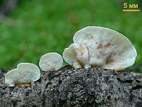 афиллофоровые грибы