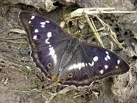 s:бабочки,c:синие,s:дневные бабочки,c:тёмно-бурые