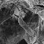 """""""Артефакт"""" в порах Феллинуса ржавого (Phellinus ferruginosus), x994; фото Андрея Смирнова"""