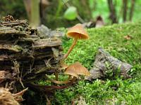Галерина островершинная (Galerina triscopa); Фото Татьяны Светловой
