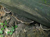 Глеодон щетинистый (Gloiodon strigosus); фото Татьяны Светловой