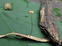 Негниючник Каррея (Marasmius curreyi); Фото Татьяны Светловой