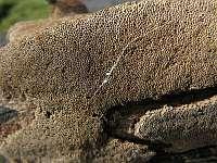 Феллинус ржавый (Phellinus ferruginosus); фото Татьяны Светловой