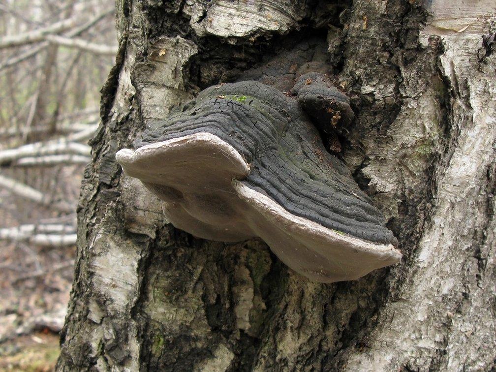 Ложный черноватый трутовик (Phellinus nigricans); Фото Татьяны Светловой