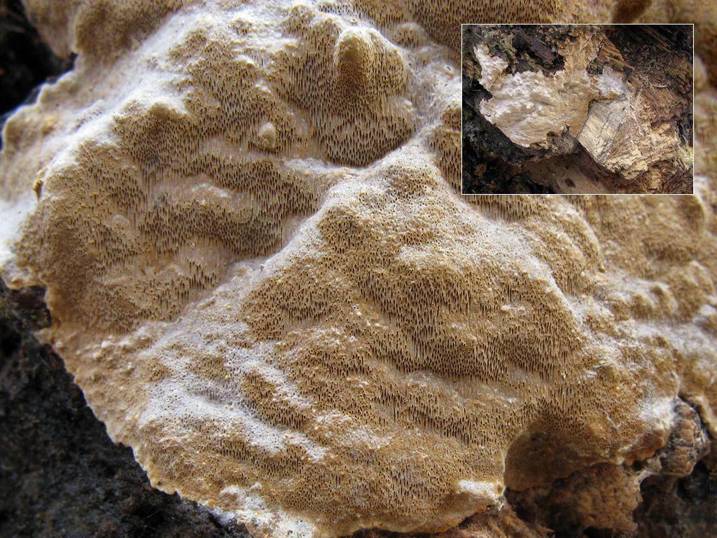 Феллинус сглаженный (Phellinus laevigatus); Фото Татьяны Светловой