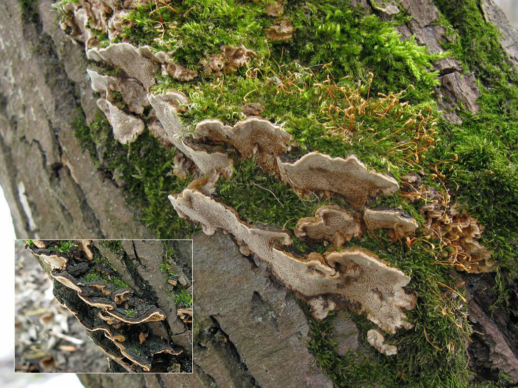 Феллинус раковинообразный (Phellinus conchatus); Фото Татьяны Светловой