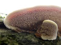 Шипики на нижней поверхности Стекхеринума Мурашкинского (Steccherinum murashkinskyi); фото Татьяны Светловой