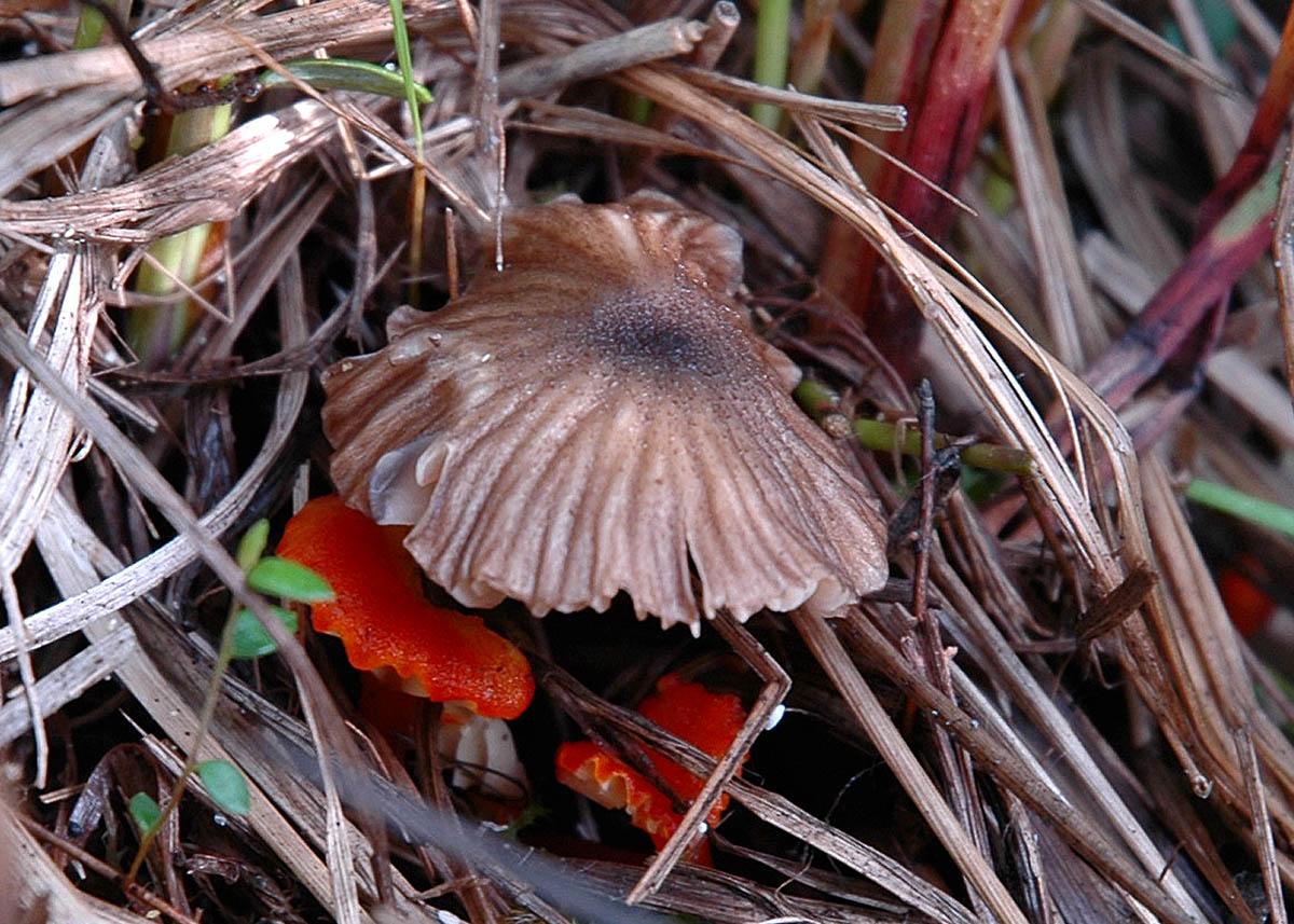 Энтолома шероховатенькая (Entoloma asprellum); Фото Татьяны Светашевой