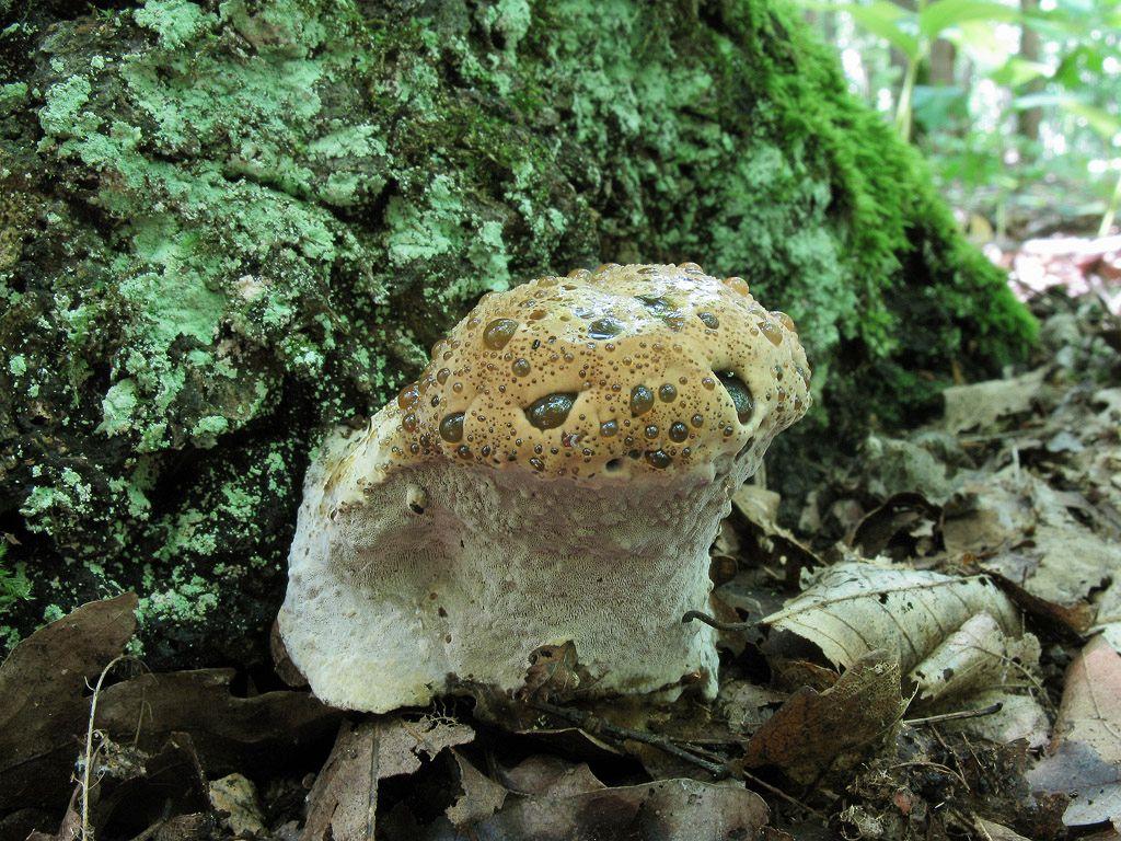 Трутовик древесный (Pseudoinonotus dryadeus); Фото Ирины Ухановой